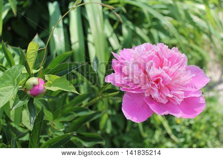 Pink beautiful flowers peony over the green leaves