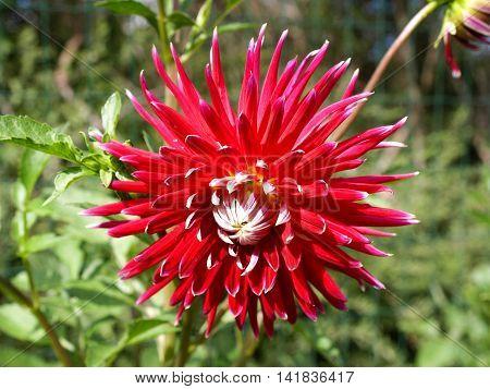 Big blossom of blooming beutiful red Dalia