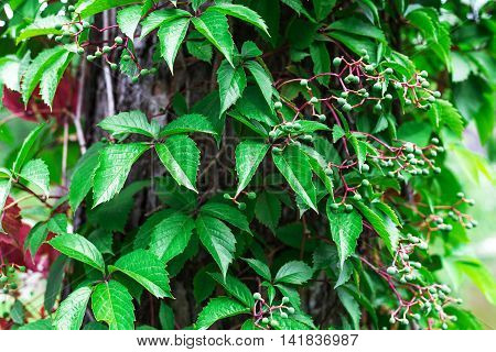 Ivy on wooden wall. Nature background. Park
