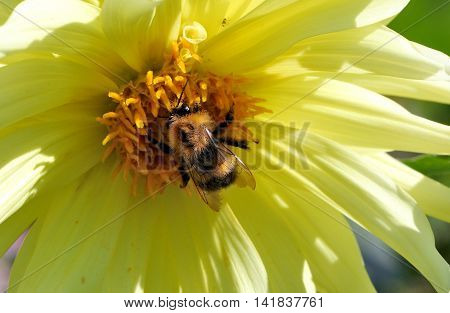Bee close up on a light yellow flower collecting pollen to make honey.