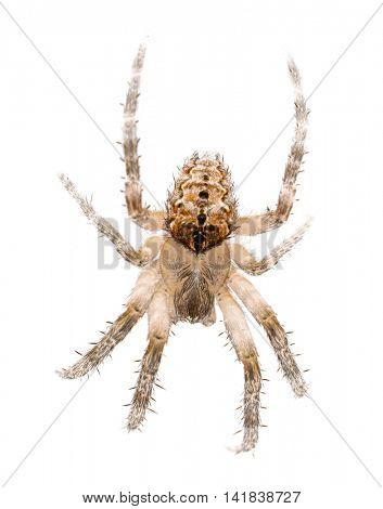 large spider isolated on white background