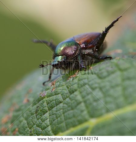 Japanese beetle with its feelers out on a grape leaf