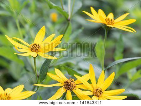 Tree marigold Mexican sunflower Japanese sunflower ingarden