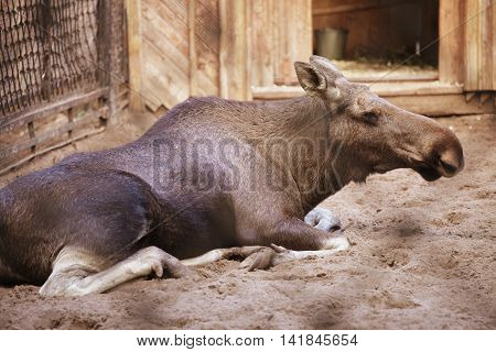 moose at the zoo, summer day