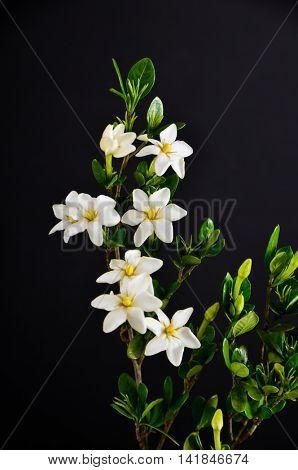 gardenia flower on black