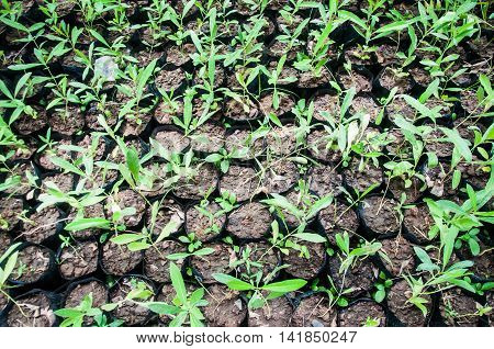 Young Seedlings in jiffy pots, top view