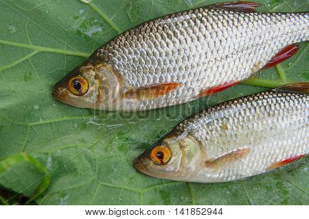 Several Common Rudd Fish On Natural Background.