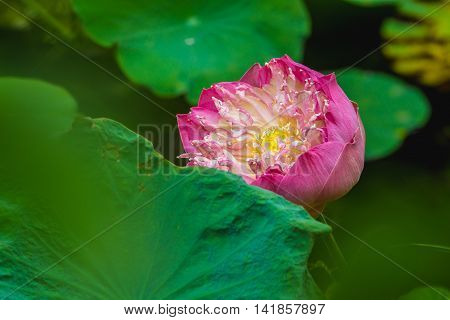 Close up Pink lotus flower Nelumbo nucifera Roseum plenum