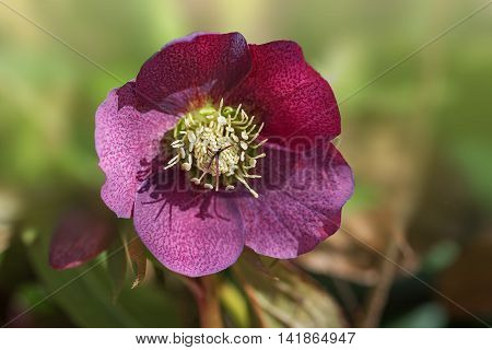 Dark Red Christmas Rose, Hellebore Niger