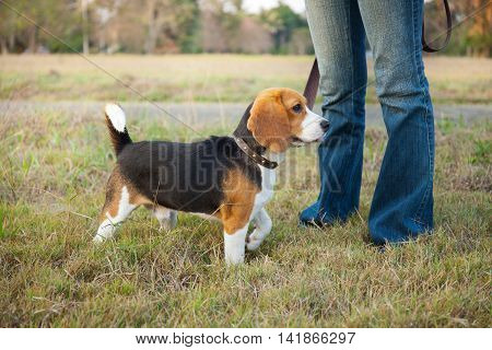 Beagle walk on long lead at the park