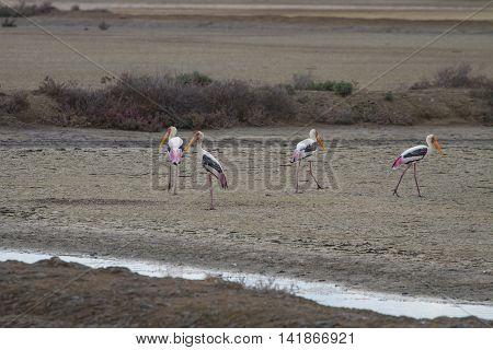 Painted Stork, Mycteria Leucocephala