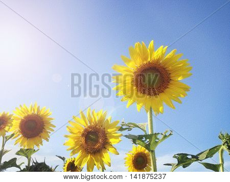 Texture Background Of Sunflower Field In Sunny Day And Lense Flare