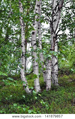 White stems of birches in forest north overcast summer day