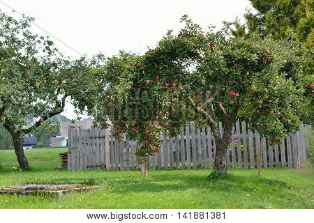 ripe apples on apple tree and old well - Season Autumn