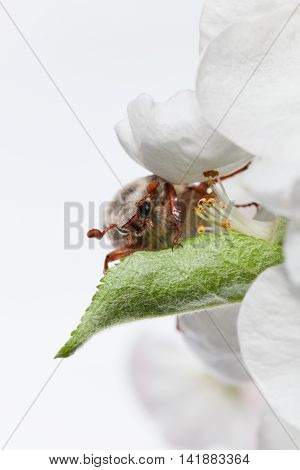 Cockchafer Under Petal