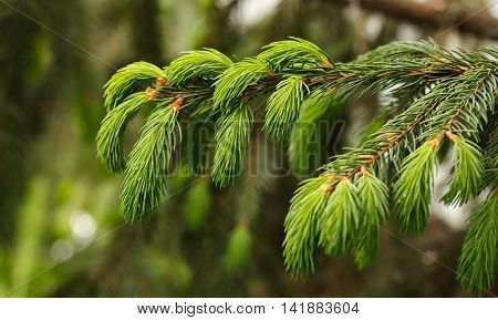 Close-up of conifer (Picea orientalis) branch at spring over forest background