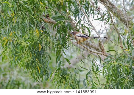 Rufous Treepie bird with long tail and dark light brown feathers perching on tree branch in the forest in Thailand, Asia. (Dendrocitta vagabunda)