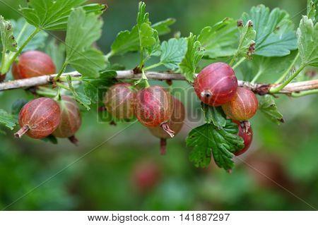 Fruits of a gooseberry (Ribes uva-crispa) on a bush.