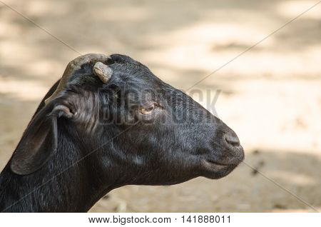 Black Domestic Goat