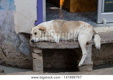 Homeless dog sleeping on the street in the town of Pushkar India