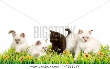 Portrait of five British Shorthair Kittens sitting in the grass, 8 weeks old, color point and black tortie color.