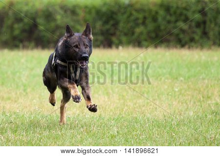 A running German Shepherd at dog school