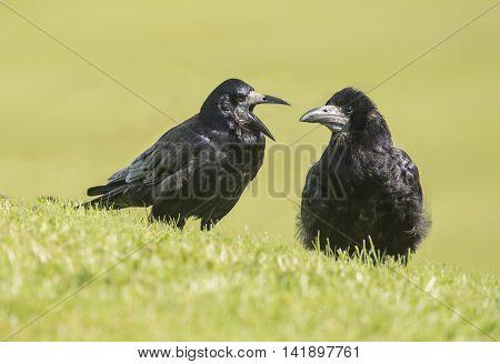 Pair Of Rooks, Corvus Frugilegus, On The Grass