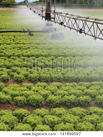 Automatic Irrigation System Of A Lettuce Field In Summer
