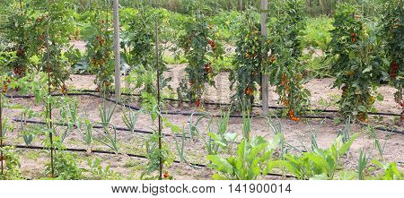 Ripe Tomatoes In Large Vegetable Garden In Summer