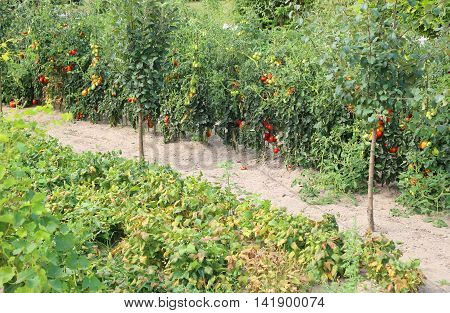 Red Ripe Tomatoes In Large Vegetable Garden In Summer
