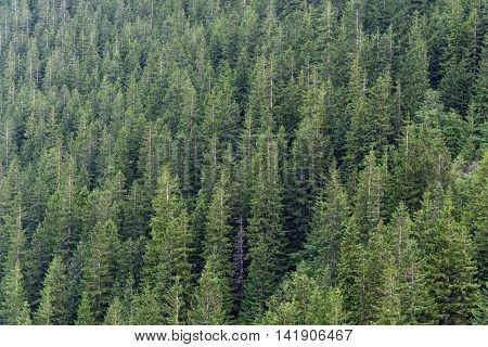 Fir Forest, Green Background