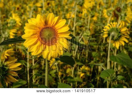 Beautiful natural background with bright yellow flower of a sunflower closeup on blurred background sunflower field