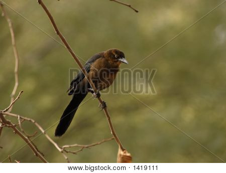 Close up view of a Common Grackle perched on a thin branch. poster