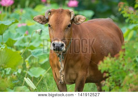 cattle with green leaves lotus and grass background