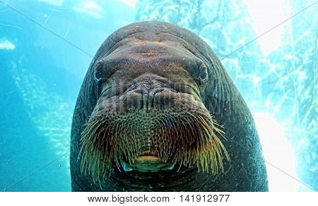 A walrus stares back at a visitor through the window of an aquarium.