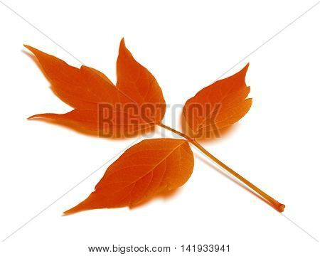 Red autumn leaf. Isolated on white background