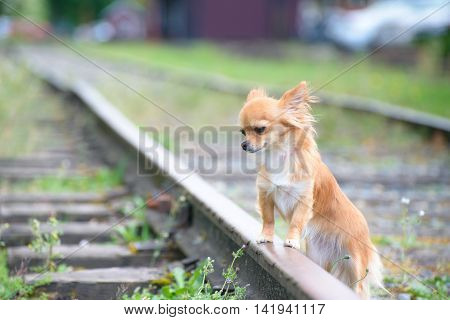 Little sad russet Chihuahua dog standing on railroad all alone waiting.