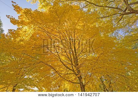 Underneath a Maple with Yellow Leaves in the Fall in Backbone State Park in Iowa