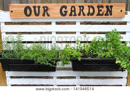 Containers of herbs hanging from a pallet on a wall