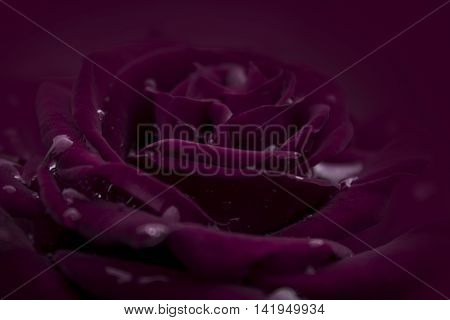 Crimson red rose bloom isolated in crimson background