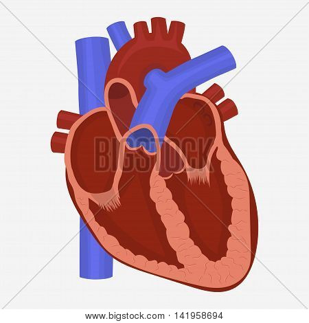 Human Heart anatomy, science medicine healthcare vector illustration