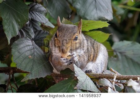 Female Grey Squirrel (Sciurus carolinensis) feeding on Hazelnuts.