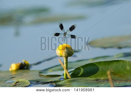 Male Banded Demoiselle damselfly (Calopteryx splendens) taking off from a lillypad flower