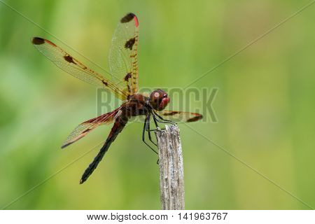 Calico Pennant Celithemis elisa perched on a plant in a prairie.