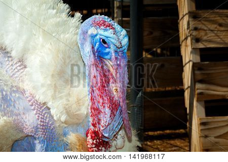 A close up image of a blue and red turkey face. He is molting and looks grumpy with his wrinkled skin and low hanging wattle and snood.