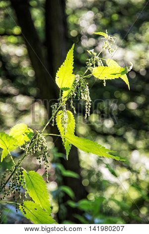 Urtica dioica often called common nettle or stinging nettle is in backlight. Natural scene. Beauty in nature. Herbalism theme.