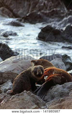 Close up of a Fur Seal Mother and Pup