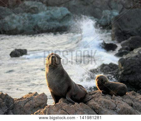 A Mother and Pup Fur Seal at Cape Palliser, New Zealand.