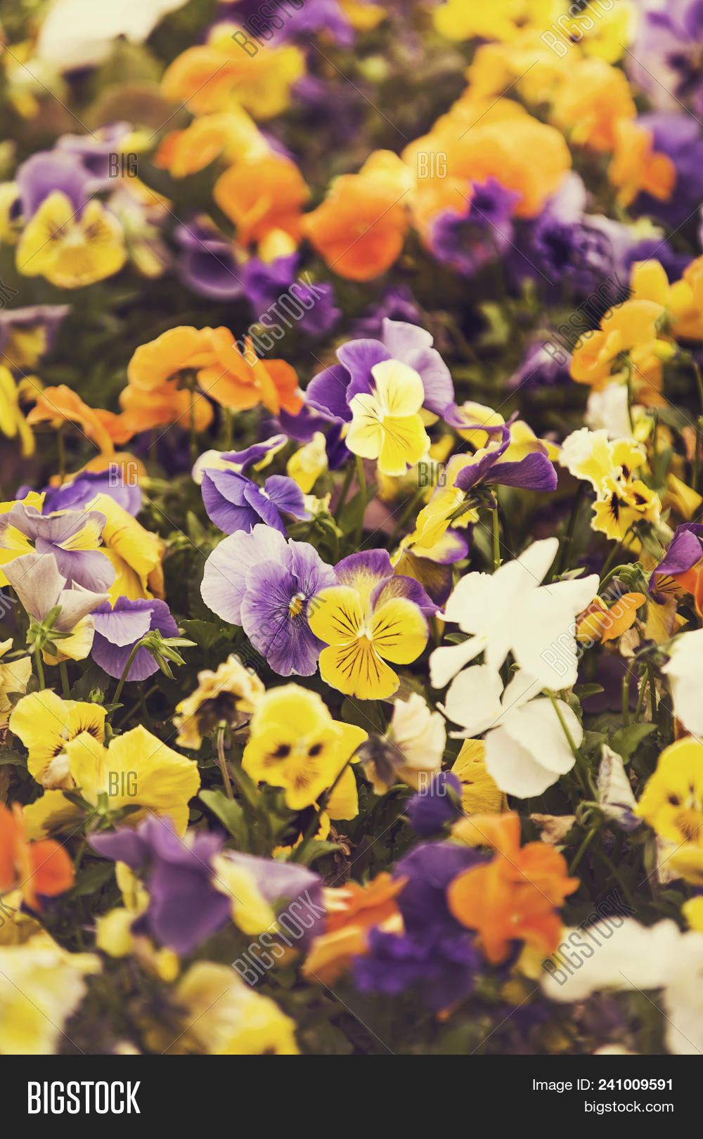Multicolor Pansy Image Photo Free Trial Bigstock