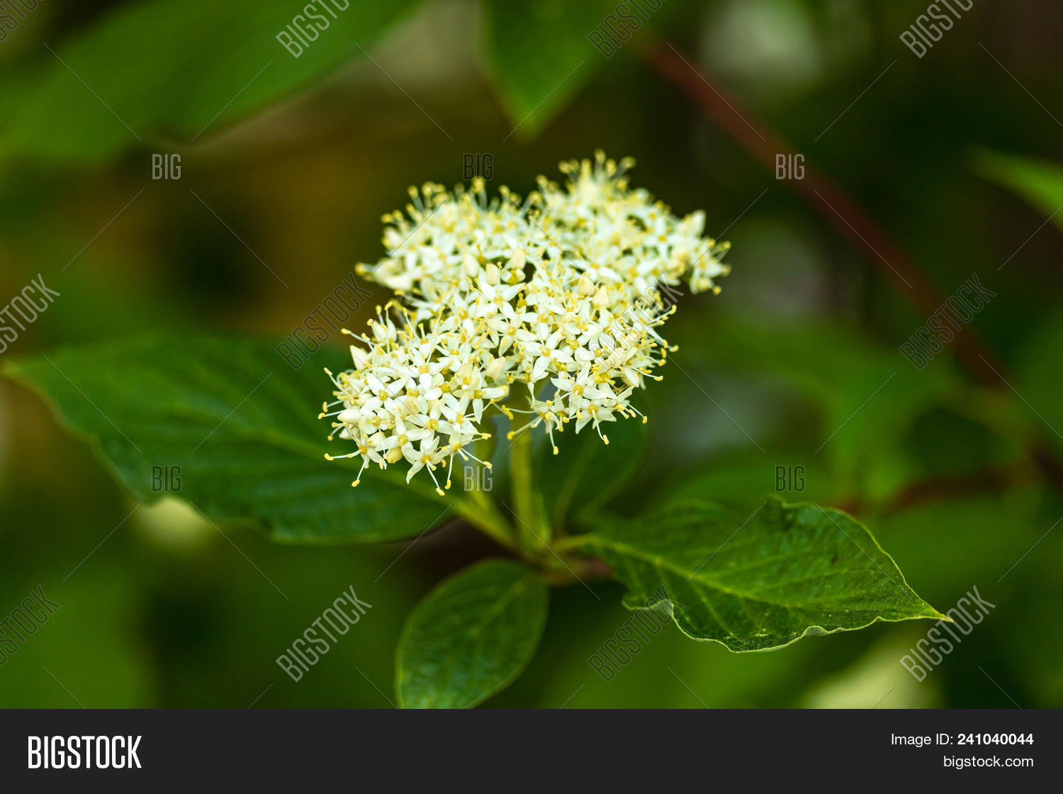 Small yellow white flower clusters image photo bigstock a small yellow and white flower clusters blooming on a shrub mightylinksfo